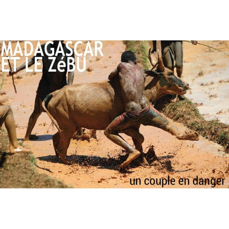 Madagascar et le zébu - un couple en danger